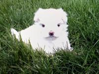 We have one adorable male puppy available! He's AKC