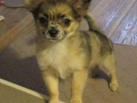 Beautiful Longcoat Merle Male chihuahua. 14wks old now