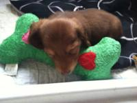 I have one Mini Dachshund male puppy for sale. He was