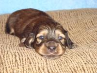 Loving, Quality, AKC Mini-Dachshund Puppies born