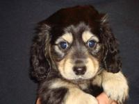 Beautiful, Loving, AKC Miniature Dachshund Puppies born