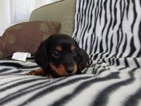 We have a beautiful litter of AKC Miniature Dachshund