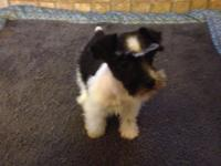 Black n White Parti puppy, born December 5th. Tail