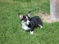 2 BEAUTIFUL AKC PEMBROOKE WELSH CORGI PUPPIES FOR SALE.