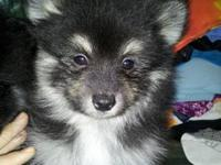 I have 3 Beautiful AKC Pomeranian Puppies with full