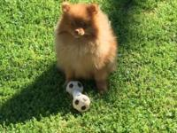 Beautiful Pomeranians need a home. I have to down size
