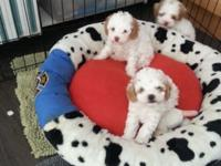 Beautiful akc poodle puppies from champion lines. Two