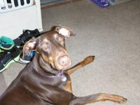 Beautiful Red Doberman Pinscher! AKC Registered, UTD on