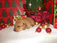 Last little boy out of this litter!! He is AKC Reg,