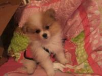 Beautiful Pomeranian puppy. This adorable female puppy
