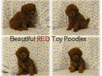 Beautiful RED Toy Poodle Puppies, both males & females