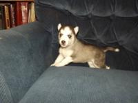 We have 2 females and 1 male Siberian husky puppies for