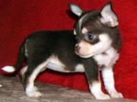 I have some beautiful AKC reg smooth coat Chihuahua