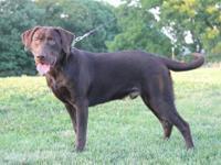 8 month old chocolate Labrador Retrievor male (intact);