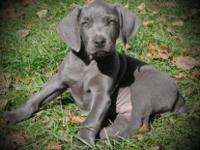 CHRISTMAS PUPPIES! Lovely AKC Registered Blue & &