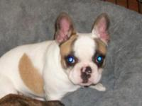 Beautiful AKC Registered French Bulldog for sale.