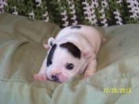 beautiful brindle pied frenchie puppies 1 males and 1