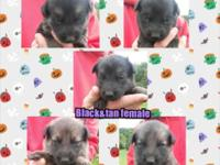 AKC Registered German Shepherd Pups 2 Sable females 1