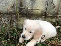 Fantastic Kennel Club registered Golden Retriever pups