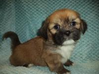 This beautiful Lhasa Apso puppy is nicknamed Kendal. He