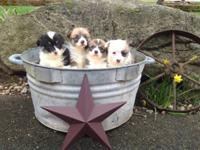 Beautiful AKC Pembroke Welsh corgi puppies. I have 4
