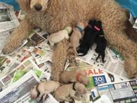 We have a beautiful litter of 11 Standard Poodle