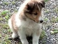 I have 3 beautiful sable & white Sheltie puppies