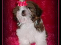Beautiful AKC registered shih tzu puppy available. She