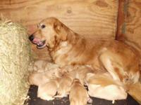 AKC Golden Retriever puppies ready to go to loving