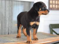 I have 3 akc 2 month old Rottweiler puppies,1 stocky