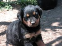 Akc reg. rottweiler puppies DOB 4-23-2012, For sale i