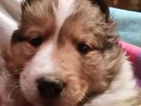 I have 4 Beautiful AKC Sheltie puppies available. 2