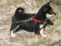 Bertha is a sweet, playful little shiba inu girl. She