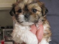 STUNNING AKC Shih-Tzu Pedigreed Puppies for Sale.