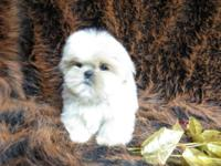 Lovely AKC Shih Tzu young puppies. Some very rare and