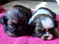We have a beautiful litter of shih tzu puppies who were