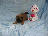 Born April 2, 2012. Gold male puppy with black mask,