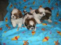 Beautiful AKC Shih Tzu puppy. He was born 12/18/12 and