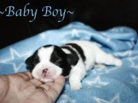 Beautiful AKC Shih Tzu puppy. This little guy is