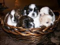 Beautiful AKC Shihtzu Puppies born on September 21 and