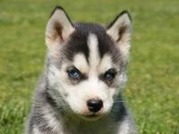 Siberian Husky Puppies, Black and White with Crystal