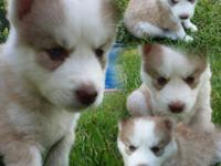 I have lovely AKC Siberian Husky puppies for sale. I am