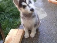 Fantastic AKC Siberian Husky puppies offered. 3 left to