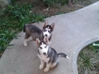 Fantastic AKC Siberian Husky puppies offered. 2 left to