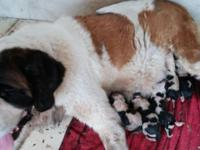 I have 12 beautiful St. Bernard AKC full registered