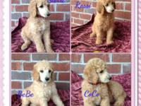 Big and attractive AKC Criterion Poodle young puppies.