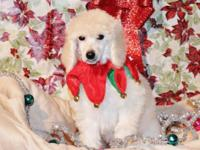 Akc conventional poodle children All ready to go, I