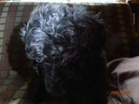Beautiful jet black Standard Poodle Puppy ..... Female