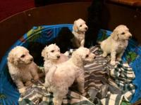 AKC Std Poodles. Absolutely beautiful pups. 5 white 4