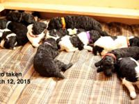 We have 10 beautiful standard poodles, 4 Solid Black